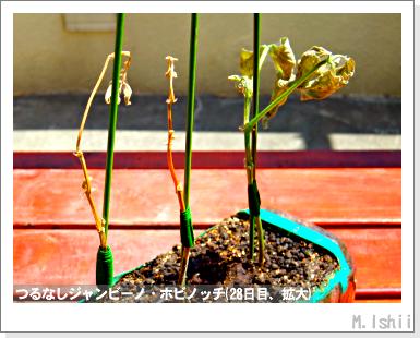 ペット栽培・試験録(つるなしジャンビーノ)56