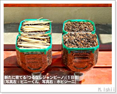 ペット栽培・試験録(つるなしジャンビーノ)57