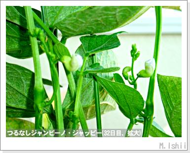 ペット栽培・試験録(つるなしジャンビーノ)59