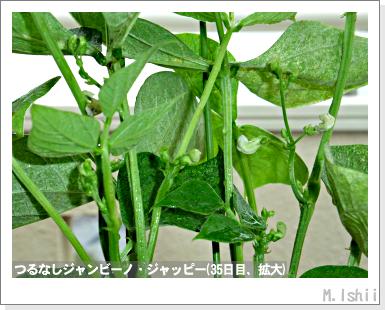 ペット栽培・試験録(つるなしジャンビーノ)63