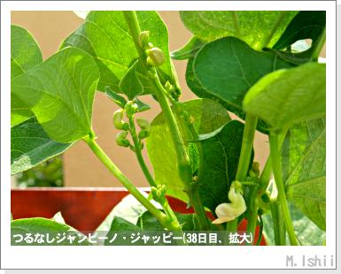 ペット栽培・試験録(つるなしジャンビーノ)67