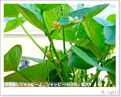 ペット栽培・試験録(つるなしジャンビーノ)71