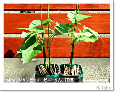 ペット栽培・試験録(つるなしジャンビーノ)72