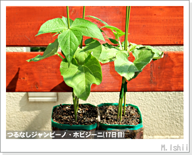 ペット栽培・試験録(つるなしジャンビーノ)73