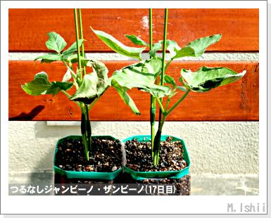ペット栽培・試験録(つるなしジャンビーノ)74