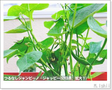 ペット栽培・試験録(つるなしジャンビーノ)76
