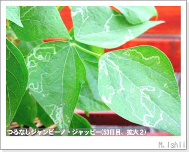 ペット栽培・試験録(つるなしジャンビーノ)77