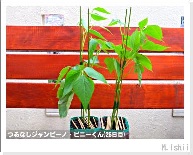 ペット栽培・試験録(つるなしジャンビーノ)78