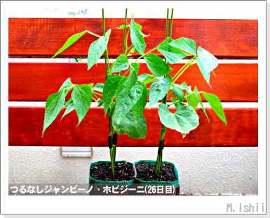 ペット栽培・試験録(つるなしジャンビーノ)79