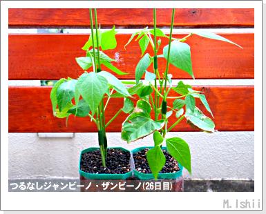 ペット栽培・試験録(つるなしジャンビーノ)80