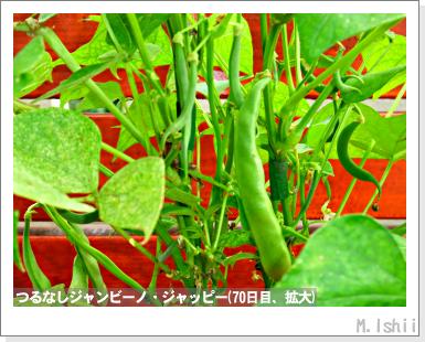 ペット栽培・試験録(つるなしジャンビーノ)82