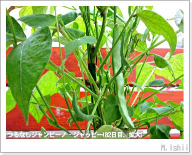 ペット栽培・試験録(つるなしジャンビーノ)92