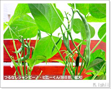 ペット栽培・試験録(つるなしジャンビーノ)94