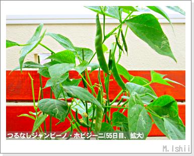 ペット栽培・試験録(つるなしジャンビーノ)96