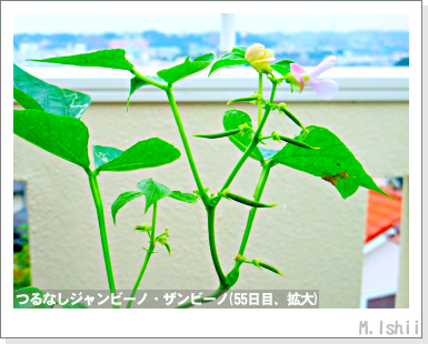 ペット栽培・試験録(つるなしジャンビーノ)98