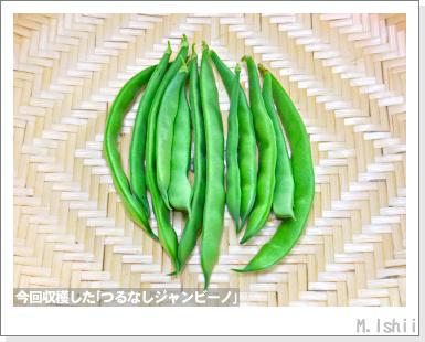 ペット栽培・試験録(つるなしジャンビーノ)99