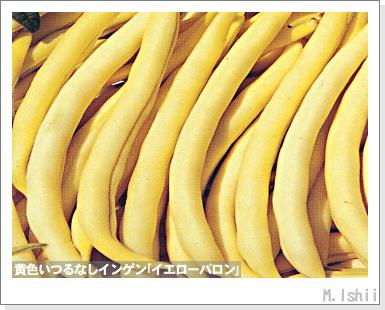 ペット栽培III(つるなしインゲン)03