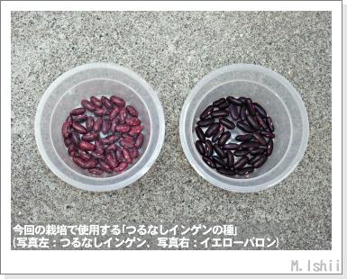 ペット栽培III(つるなしインゲン)05