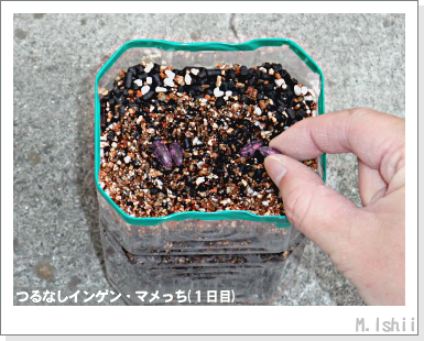 ペット栽培III(つるなしインゲン)06