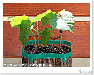ペット栽培III(つるなしインゲン)09