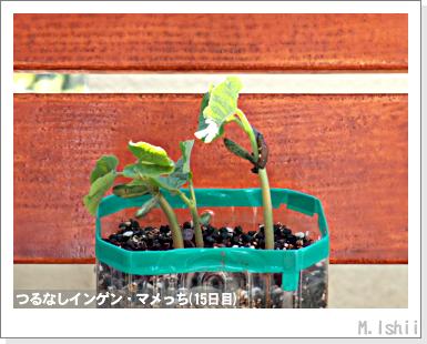 ペット栽培III(つるなしインゲン)10