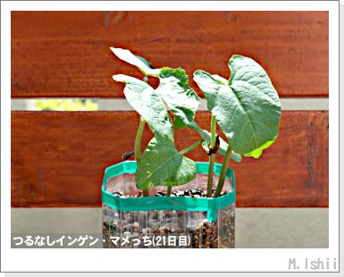 ペット栽培III(つるなしインゲン)11