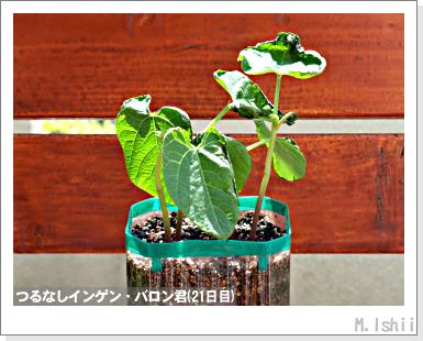 ペット栽培III(つるなしインゲン)12
