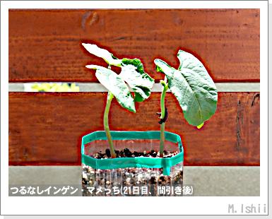 ペット栽培III(つるなしインゲン)13