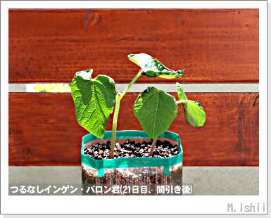 ペット栽培III(つるなしインゲン)14