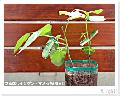 ペット栽培III(つるなしインゲン)15
