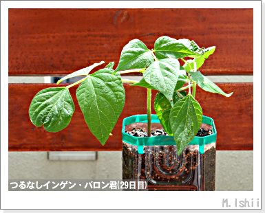 ペット栽培III(つるなしインゲン)16