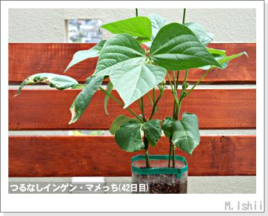 ペット栽培III(つるなしインゲン)19