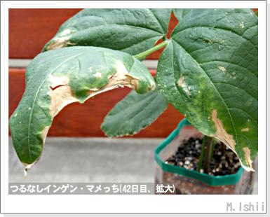 ペット栽培III(つるなしインゲン)20