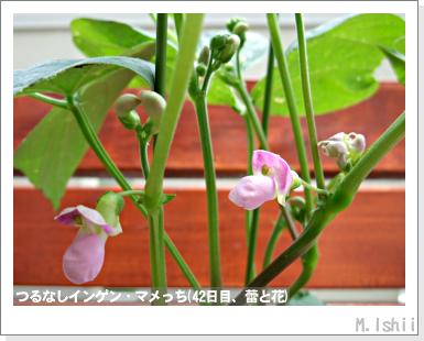 ペット栽培III(つるなしインゲン)21