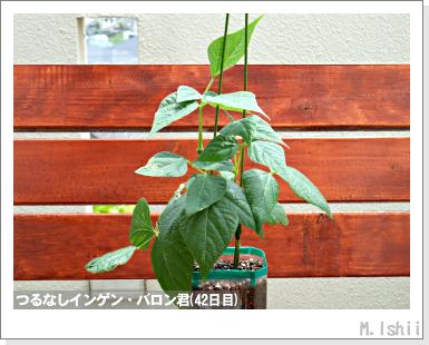 ペット栽培III(つるなしインゲン)22