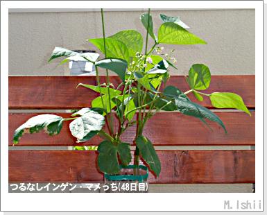 ペット栽培III(つるなしインゲン)23