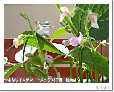 ペット栽培III(つるなしインゲン)24