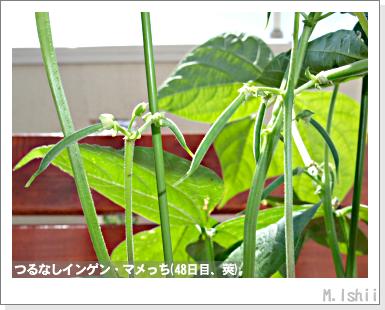 ペット栽培III(つるなしインゲン)25
