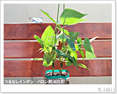 ペット栽培III(つるなしインゲン)26