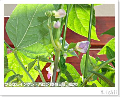 ペット栽培III(つるなしインゲン)27