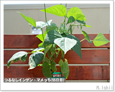 ペット栽培III(つるなしインゲン)28