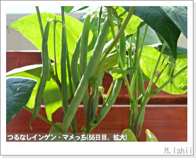 ペット栽培III(つるなしインゲン)29
