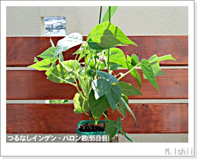 ペット栽培III(つるなしインゲン)33