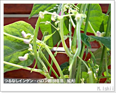 ペット栽培III(つるなしインゲン)34