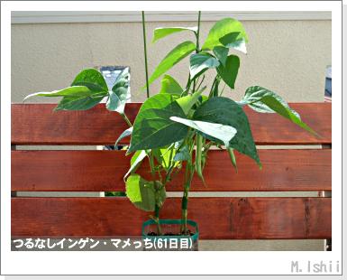 ペット栽培III(つるなしインゲン)35