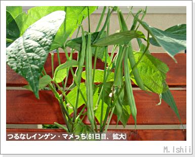 ペット栽培III(つるなしインゲン)36
