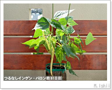 ペット栽培III(つるなしインゲン)37