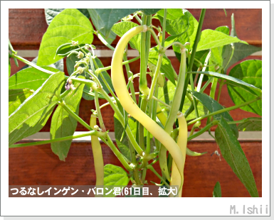 ペット栽培III(つるなしインゲン)38