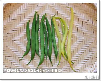 ペット栽培III(つるなしインゲン)39