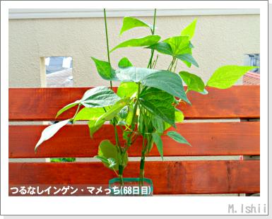 ペット栽培III(つるなしインゲン)42